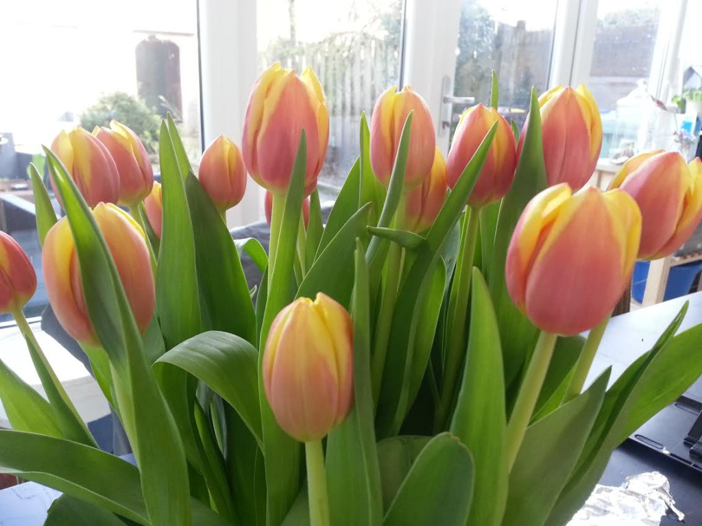 tulpies